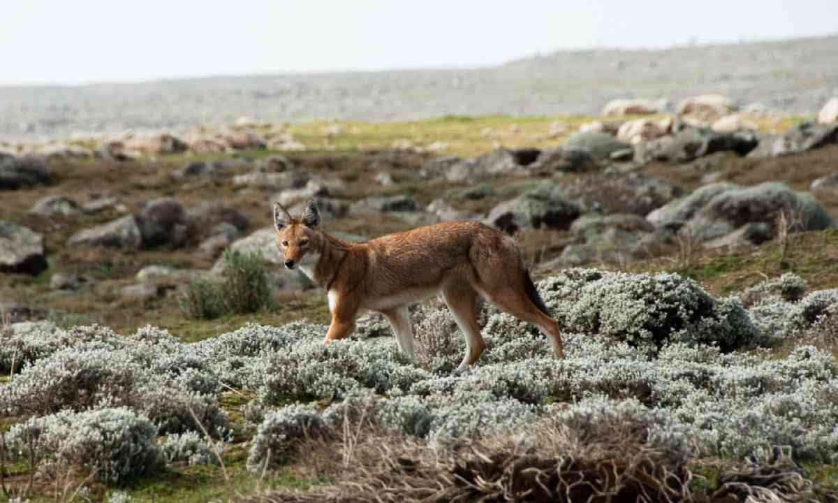 Simien wolf, Ethiopian Highlands (Shutterstock)
