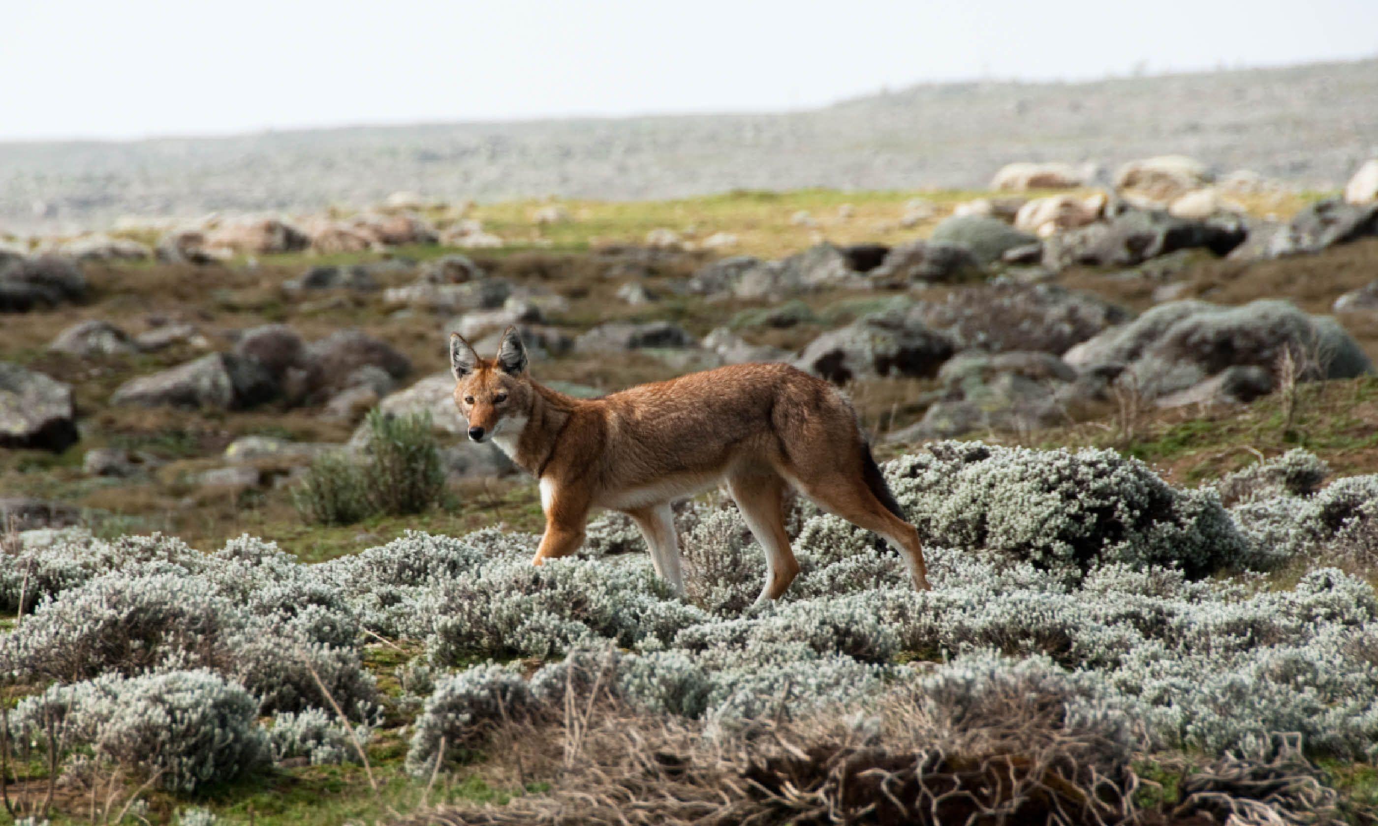 Simien wolf, Ethiopian Highlands (Shutterstock)