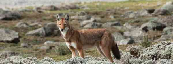 Simien wolf (Shutterstock: see credit below)