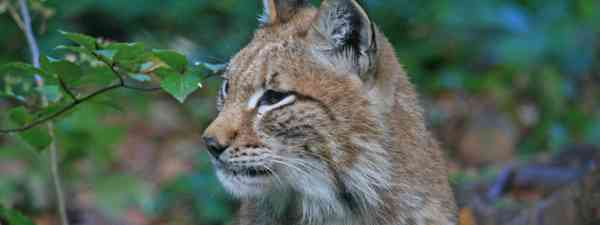 Harz Lynx (German National Tourist Board)