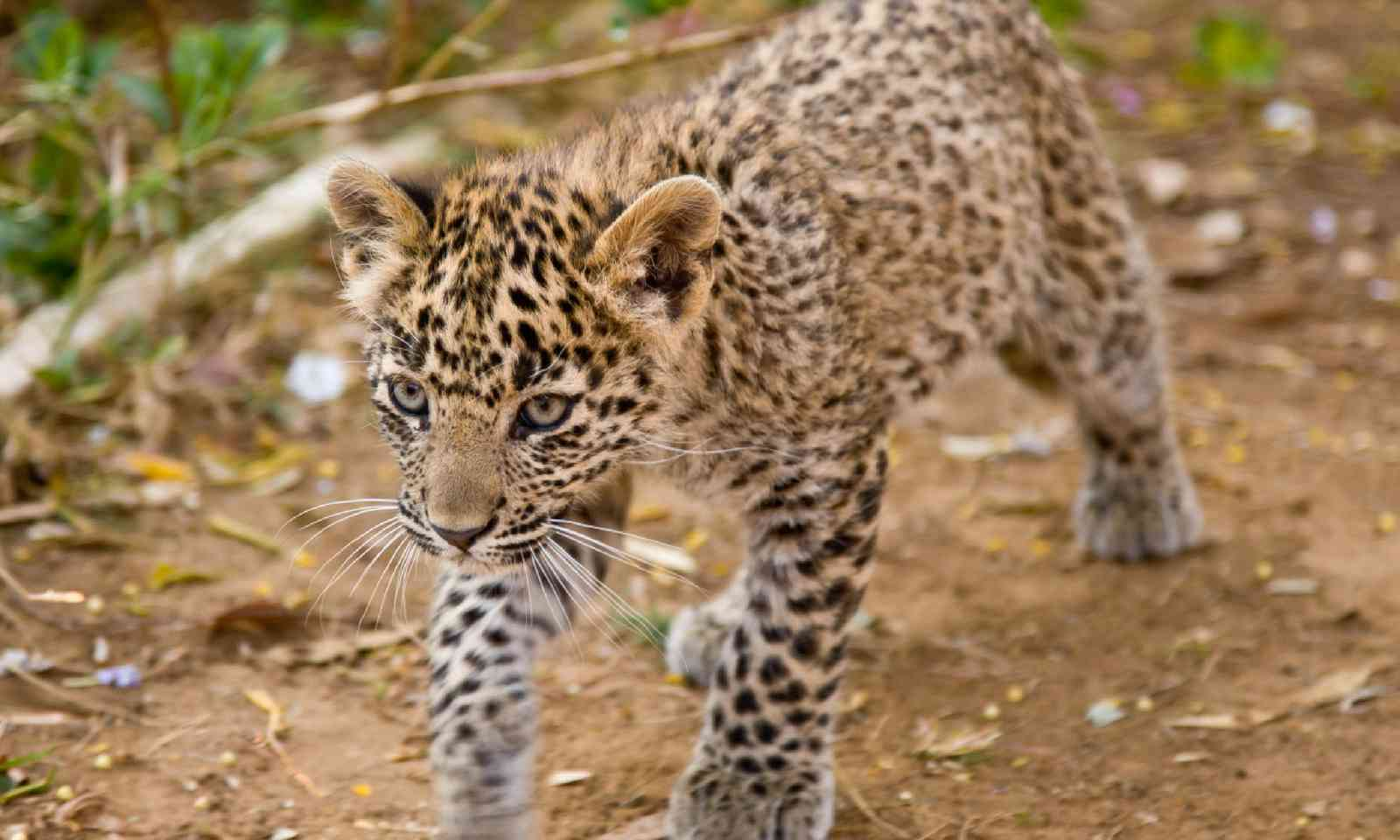 Young leopard cub on the prowl (Shutterstock)