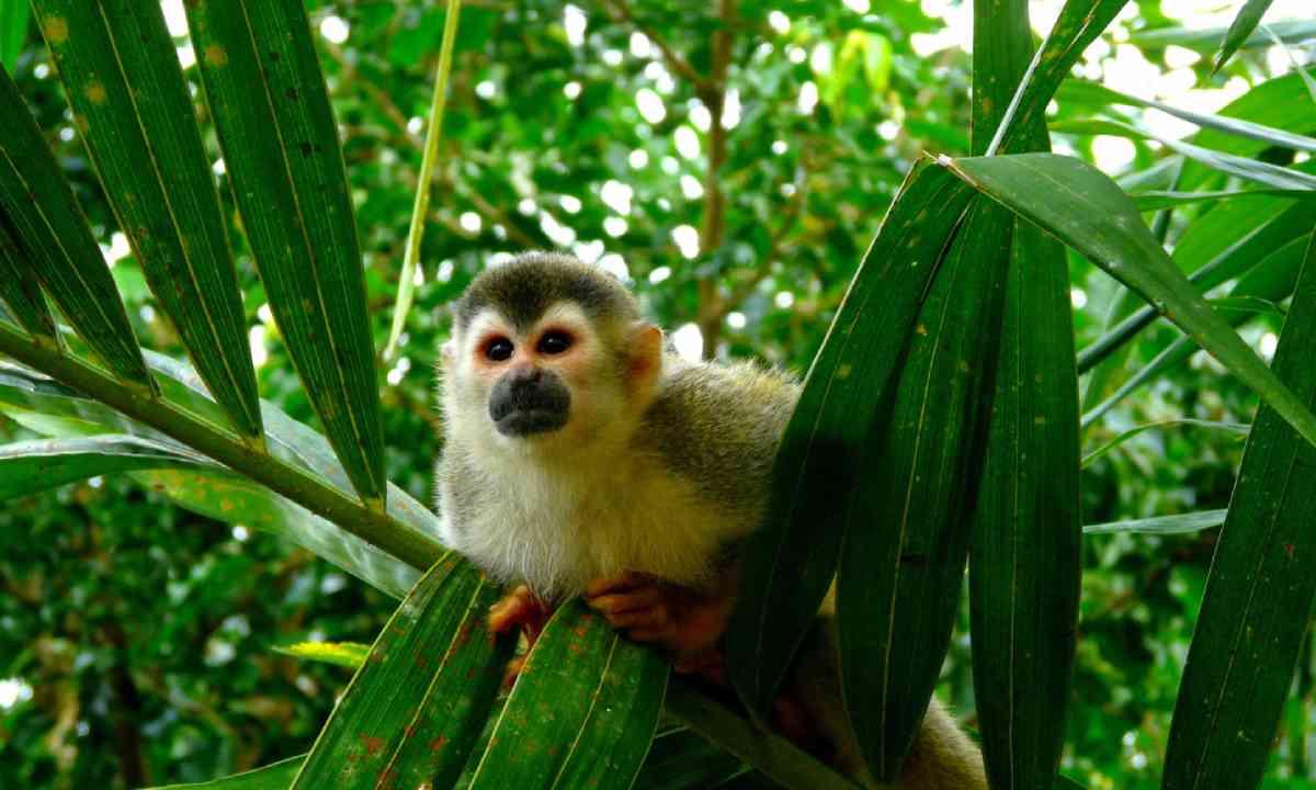 Squirrel monkey in Manuel Antonio National Park, Costa Rica (Shutterstock)