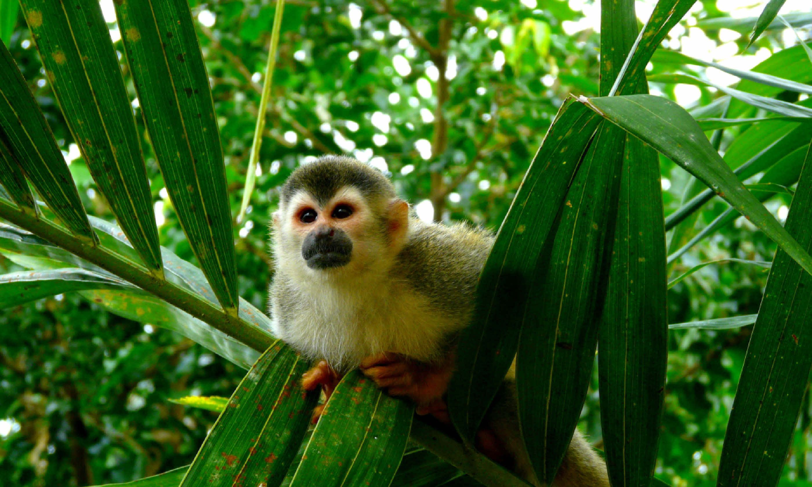 Squirrel monkey in Manuel Antonio National Park, Costa Rica (Shutterstock)