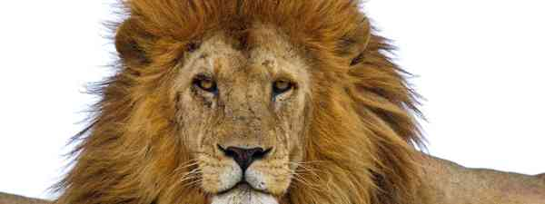 Male lion (Dreamstime)