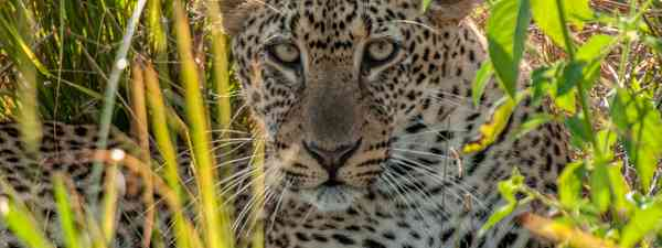 A leopard hiding in South Luangwa National Park (Dreamstime)