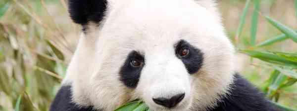 Panda chewing leaves (Dreamstime)