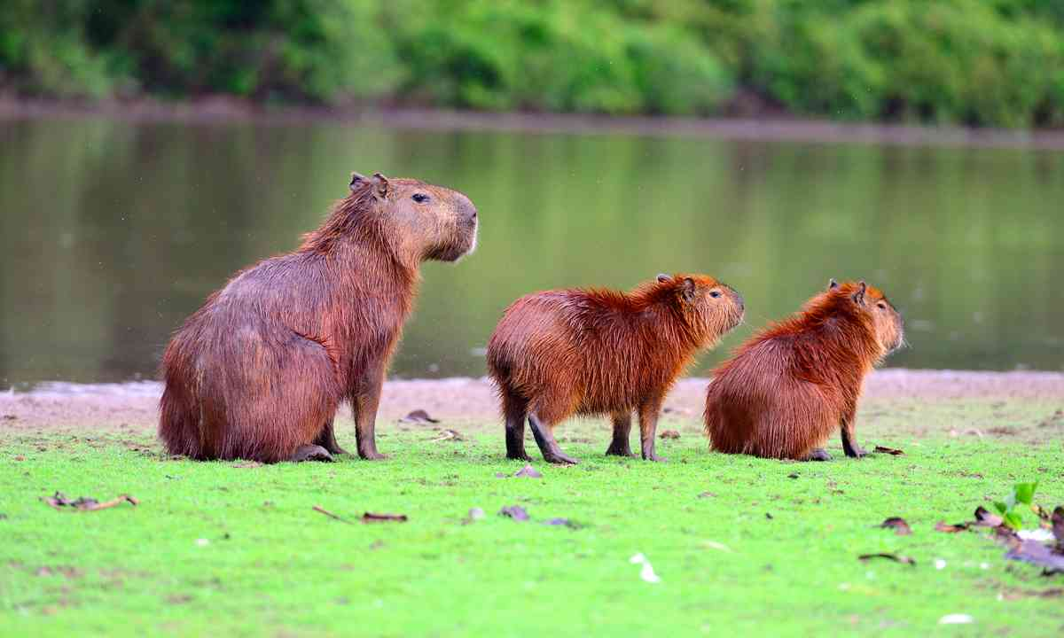 Capybaras (Shutterstock)