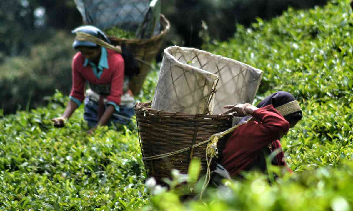 Tea pickers in Sikkim (Alan Wilson)
