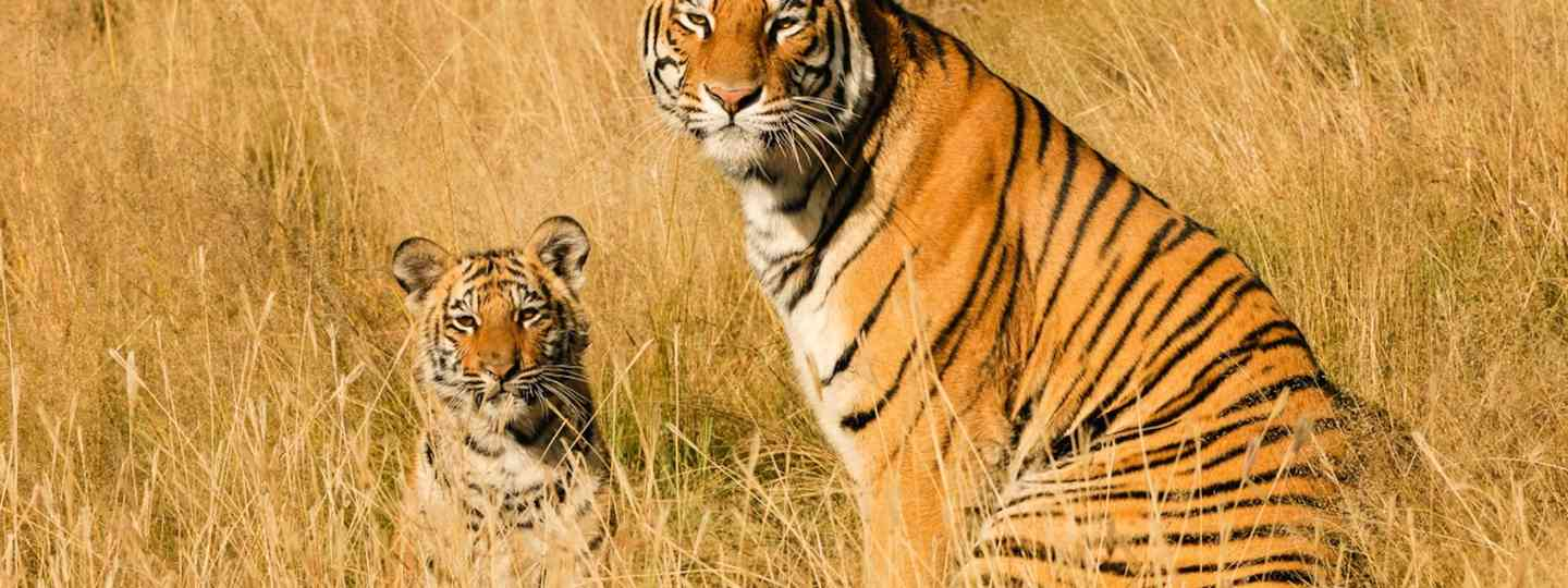 Tiger and cub in the wild (Dreamstime)