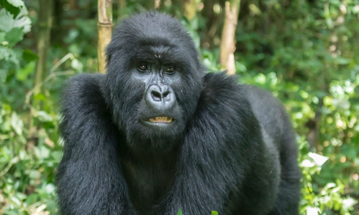 Gorilla Tactics: why Rwanda's exorbitant price hike for seeing gorillas is a disaster