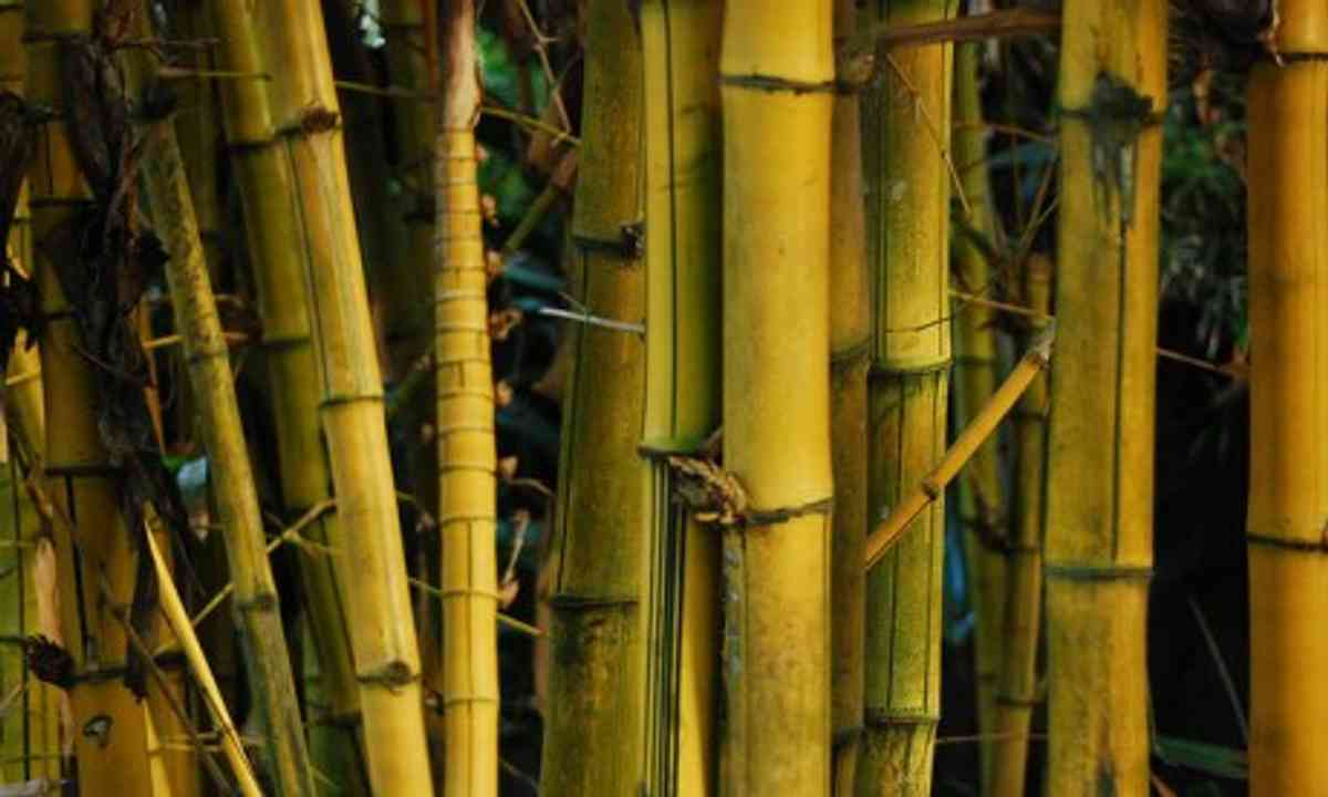 Bamboo (Wanderlust)