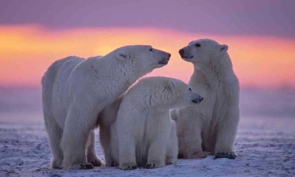 Polar bear family in Canadian Arctic (Shutterstock)