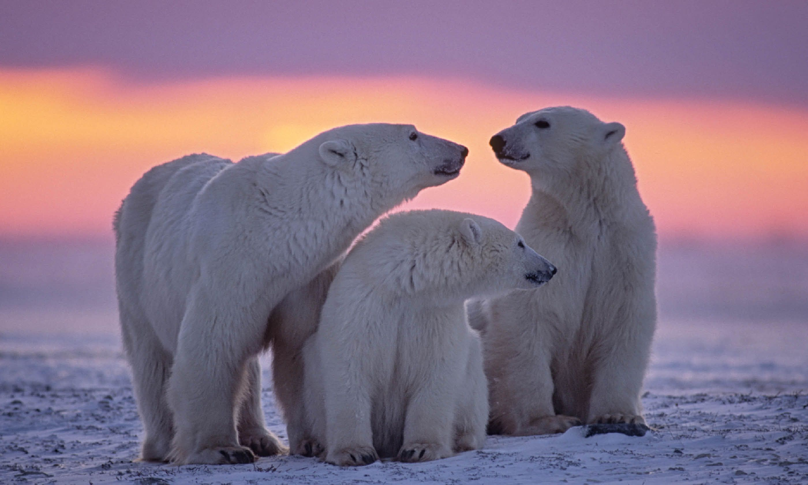 Polar bear family in Canadian Arctic (Shutterstock)