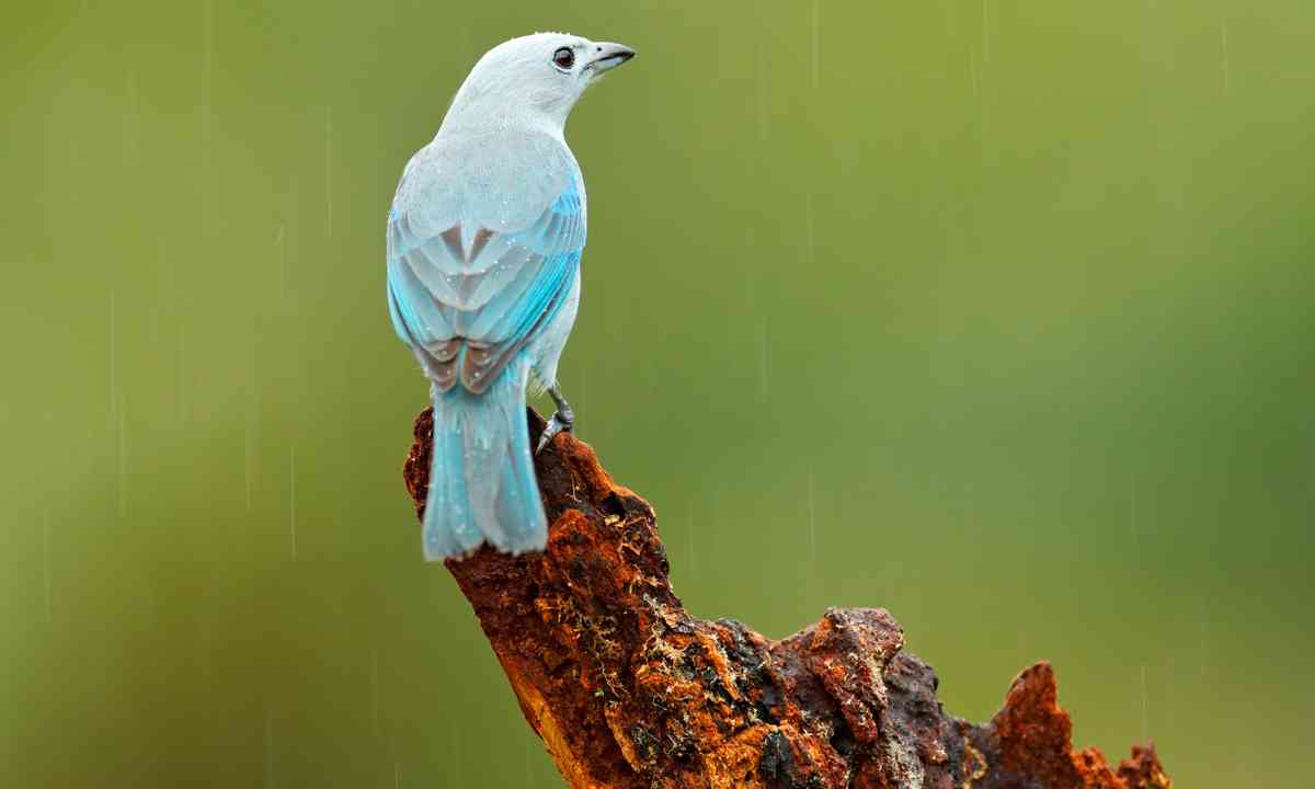 A Blue-Gray Tanager in Panama (Dreamstime)