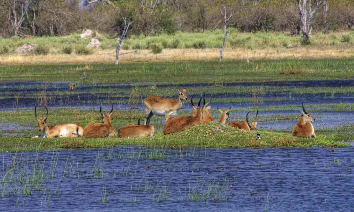Antelopes lechwe (Shutterstock)