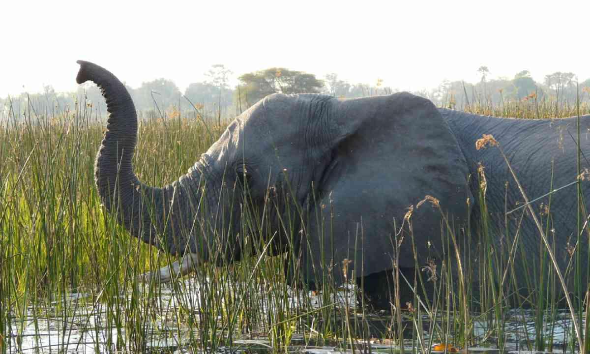 Elephant crossing a river in Pom-Pom Island, Okavango Delta (Shutterstock)