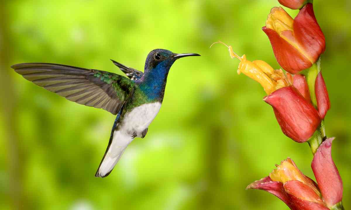 Hummingbird feeding (www.shutterstock.com)