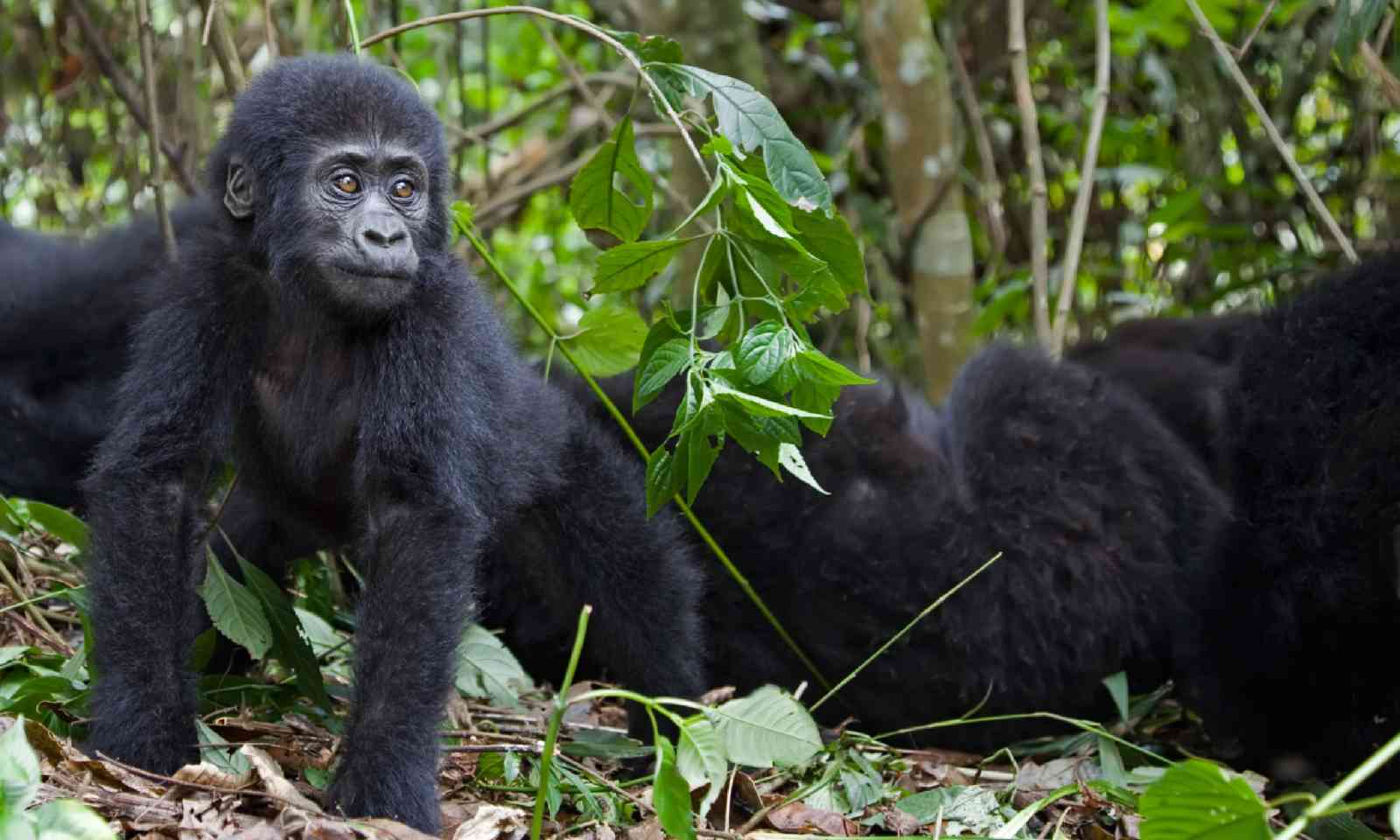 Young mountain gorilla (Shutterstock)