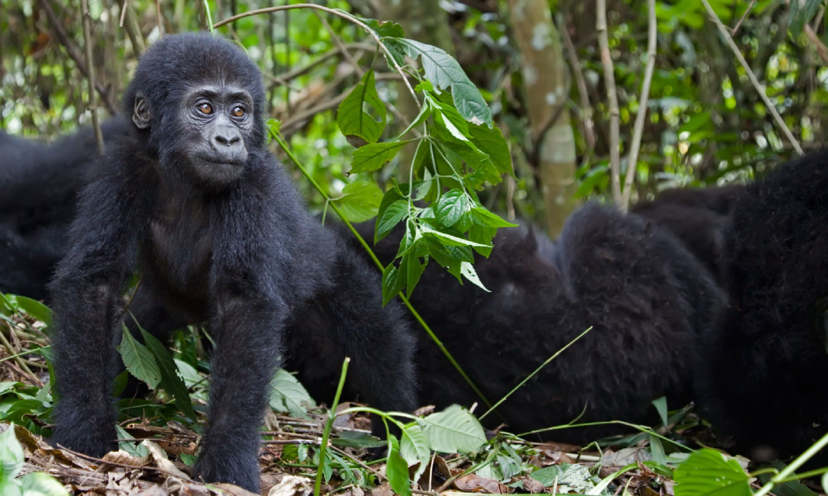 Young mountain gorilla (Shutterstock)