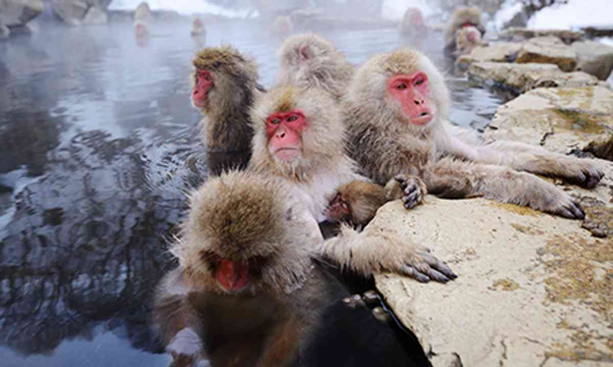 Snow Monkeys (Shutterstock.com)