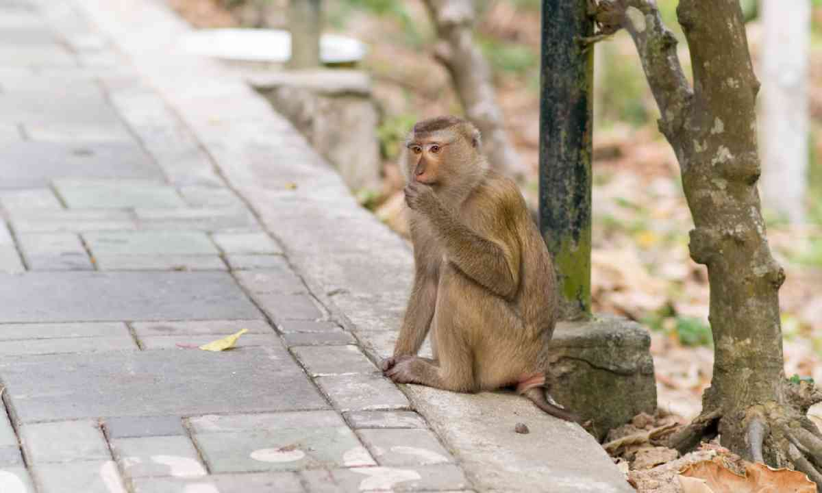 Monkey on the walkway at Khao Tosae mountain (Shutterstock)
