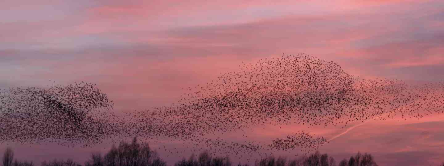 Starling murmurations (Shutterstock: see credit below)