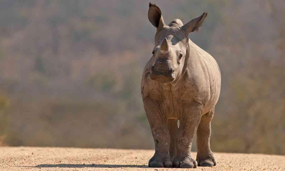 Rhino calf (Shutterstock.com)