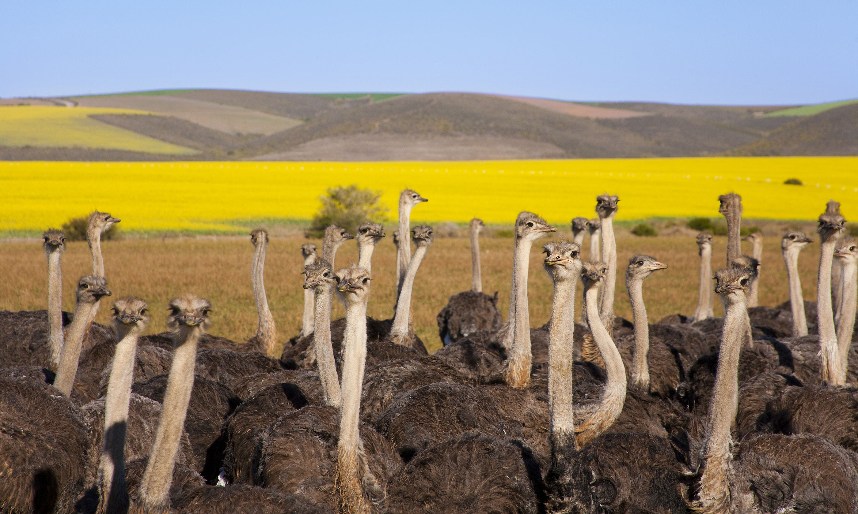 Ostriches on the Garden Route (Shutterstock.com)
