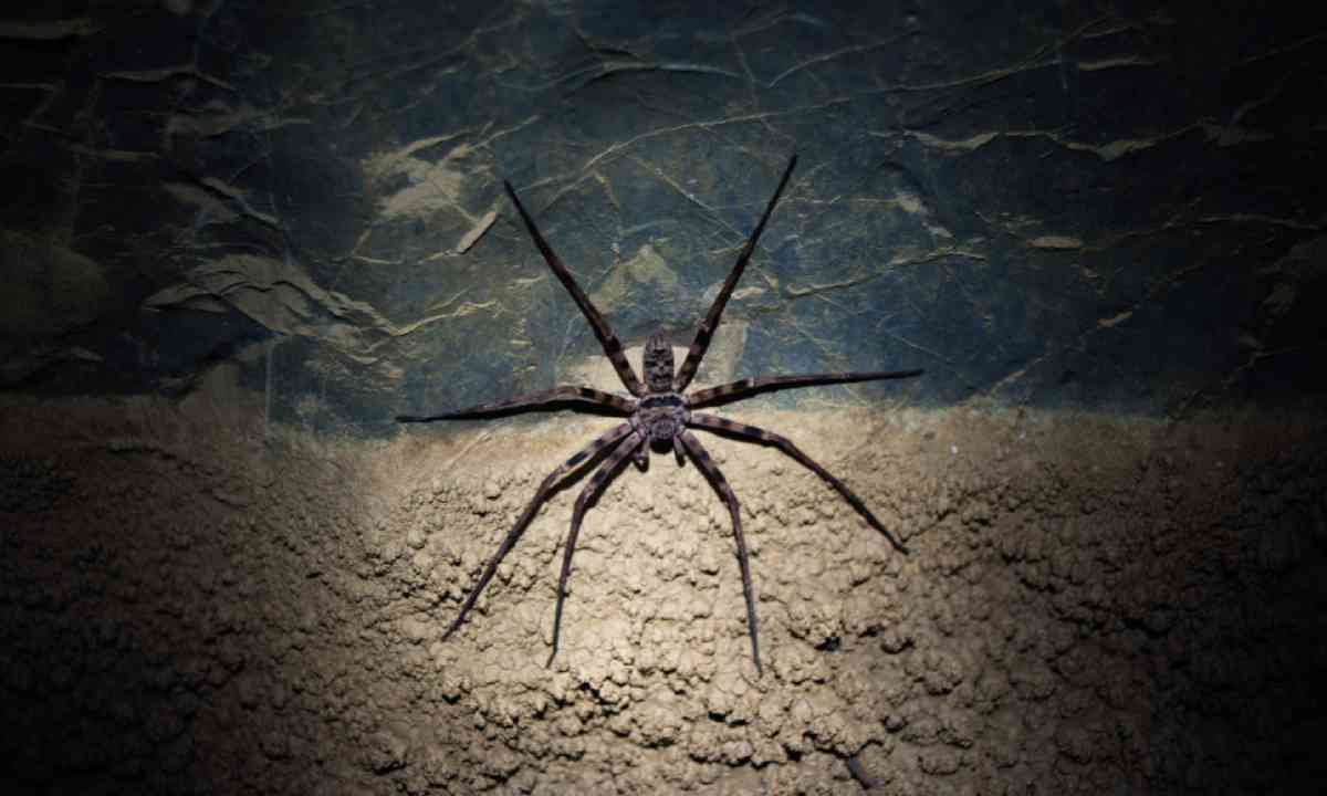 Huntsman spider (Photo: David W Lloyd)