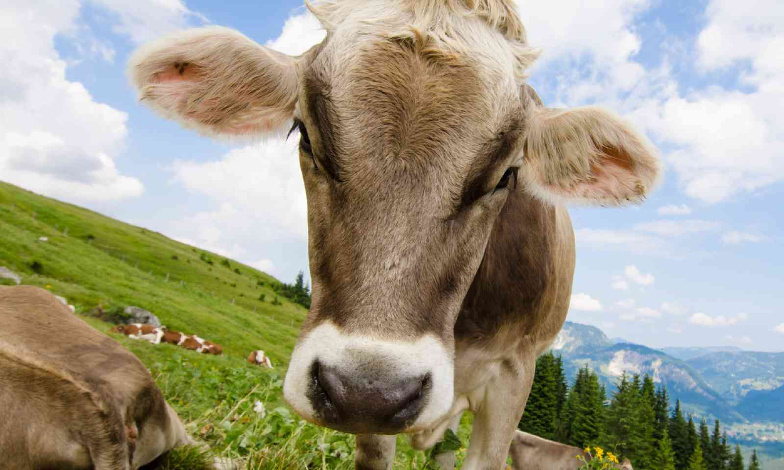 Brown cow, Tirolean alps (Shutterstock)