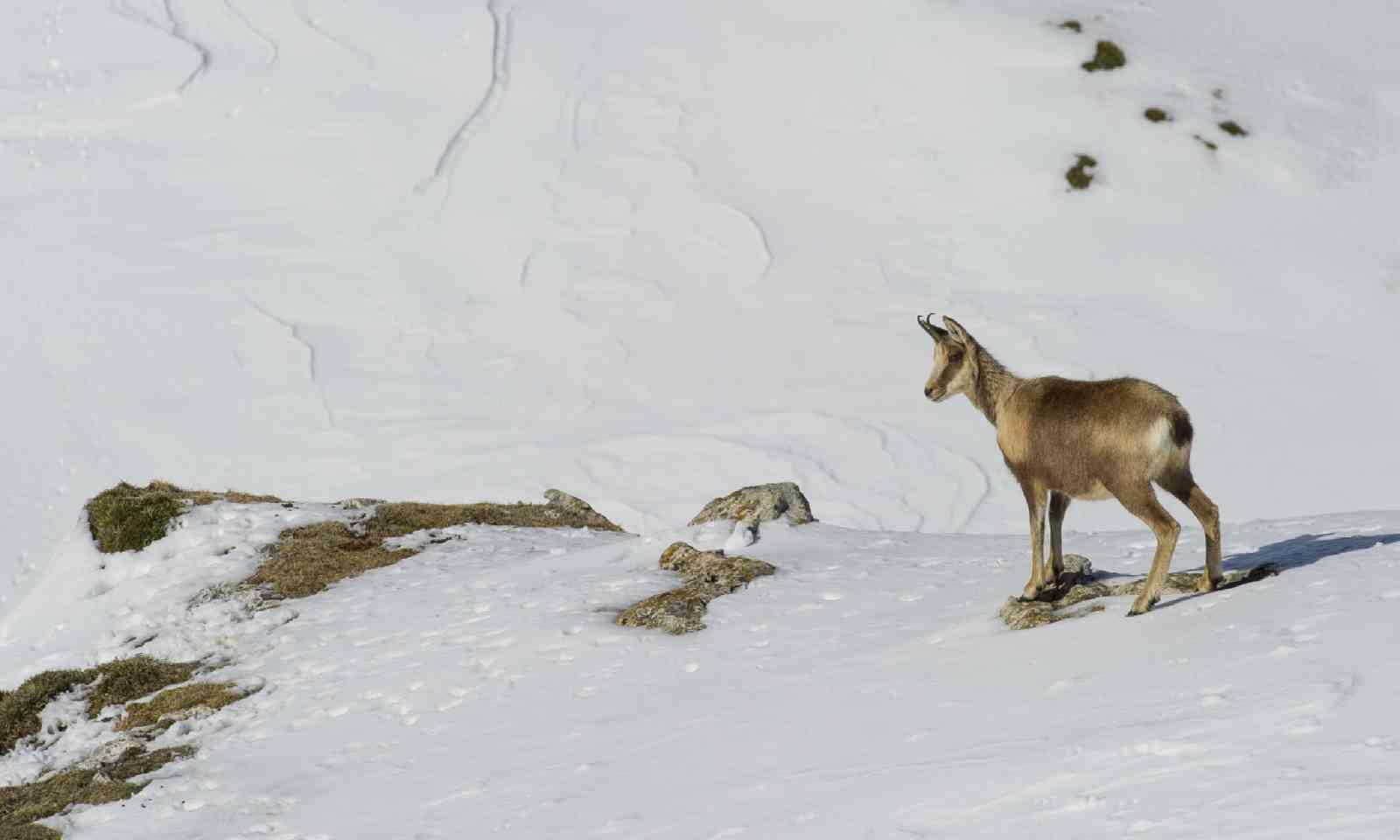 Snowy mountain chamois (Shutterstock)