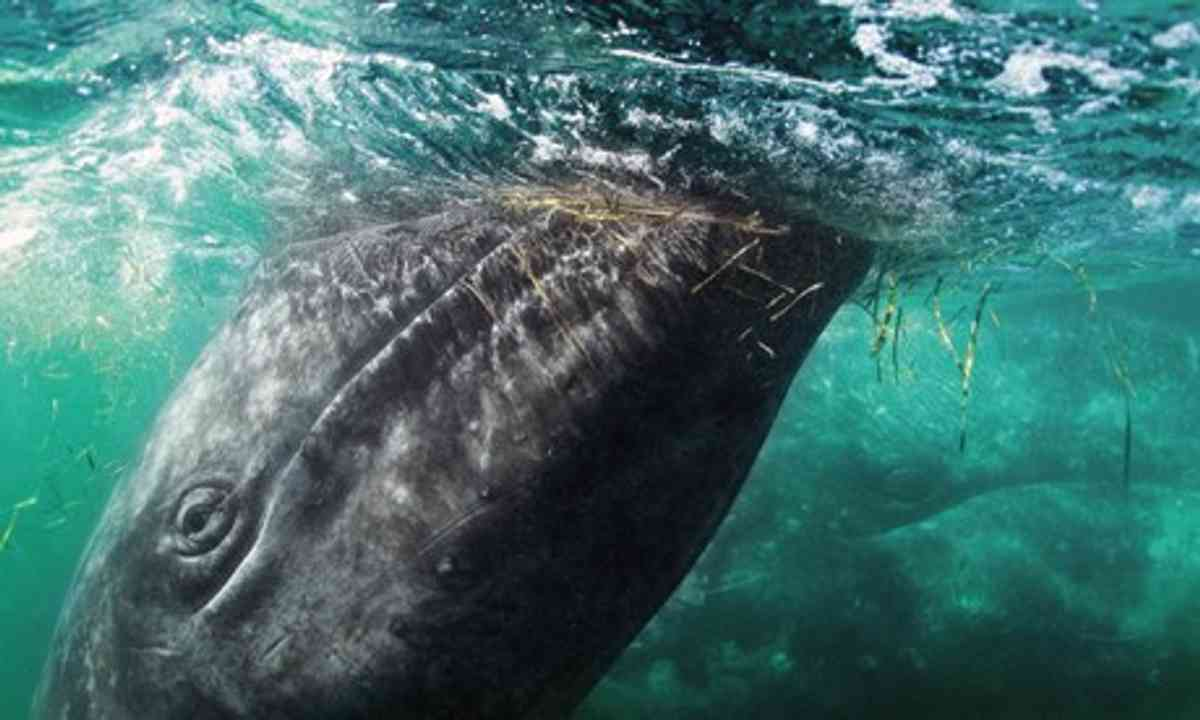 Whale (Mark Carwardine)