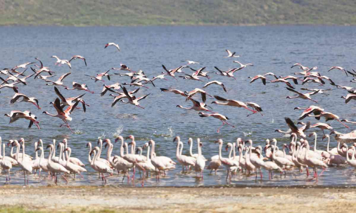 Flamingos flying at Lake Bogoria in Kenya (Shutterstock)
