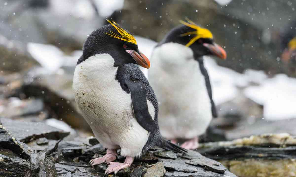 Macaroni penguins (Shutterstock)