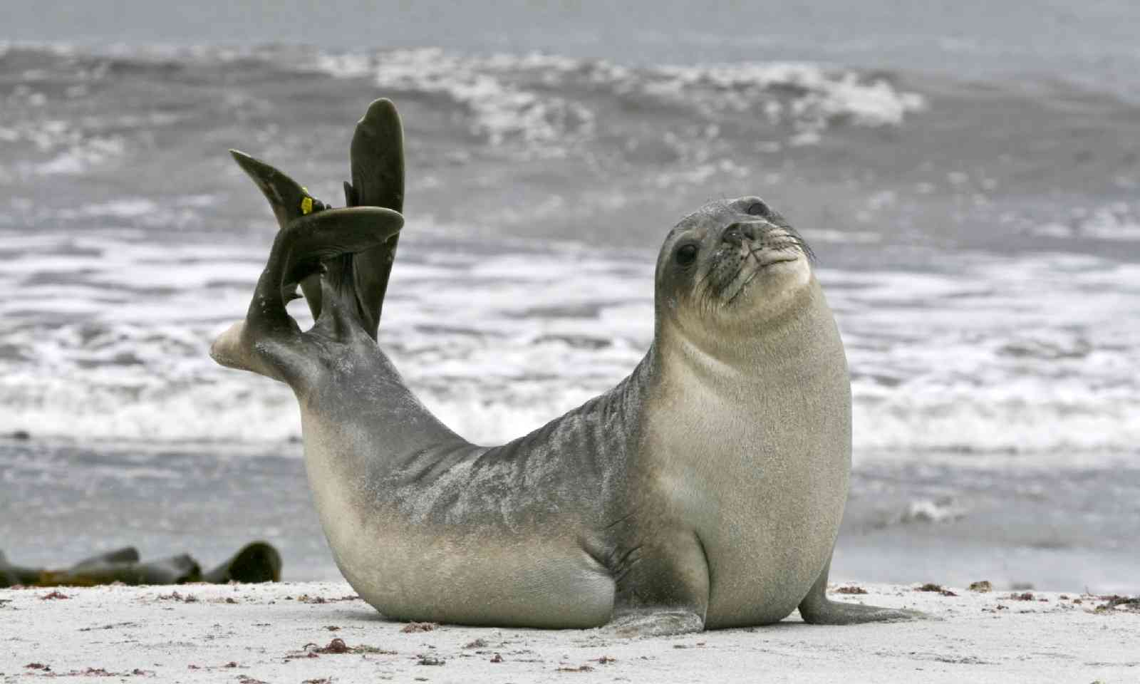 Young southern elephant seal bull (Shutterstock)