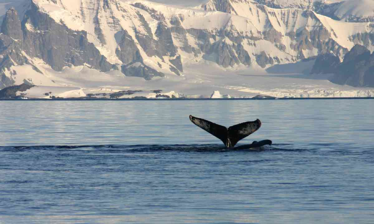 Whale fin and snowcapped landscape in Antarctica (Shutterstock)