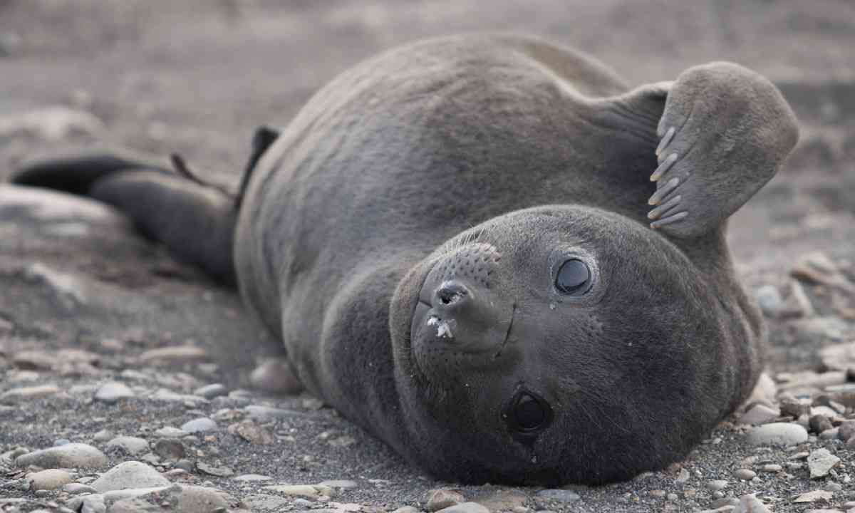 Young southern elephant seal (Shutterstock)