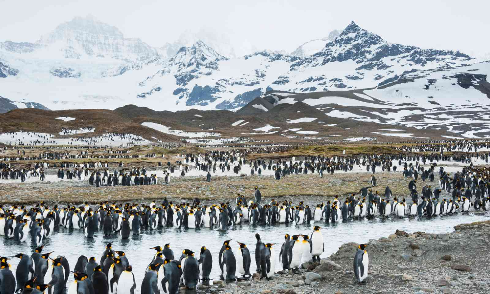Colony of king penguins in South Georgia, Antarctica (Shutterstock)