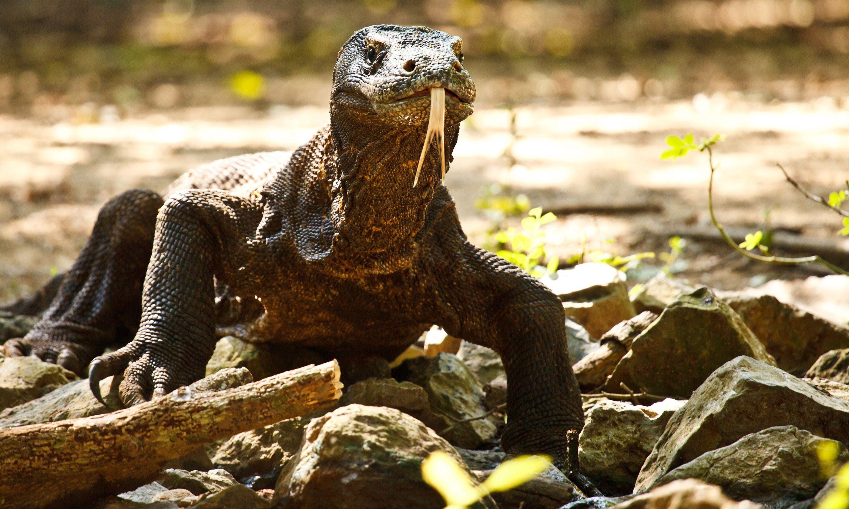 Komodo Dragon (Shutterstock.com)