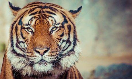 Tiger in India (Dreamstime)