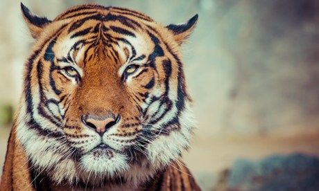 Tiger in India (Dreamstime)