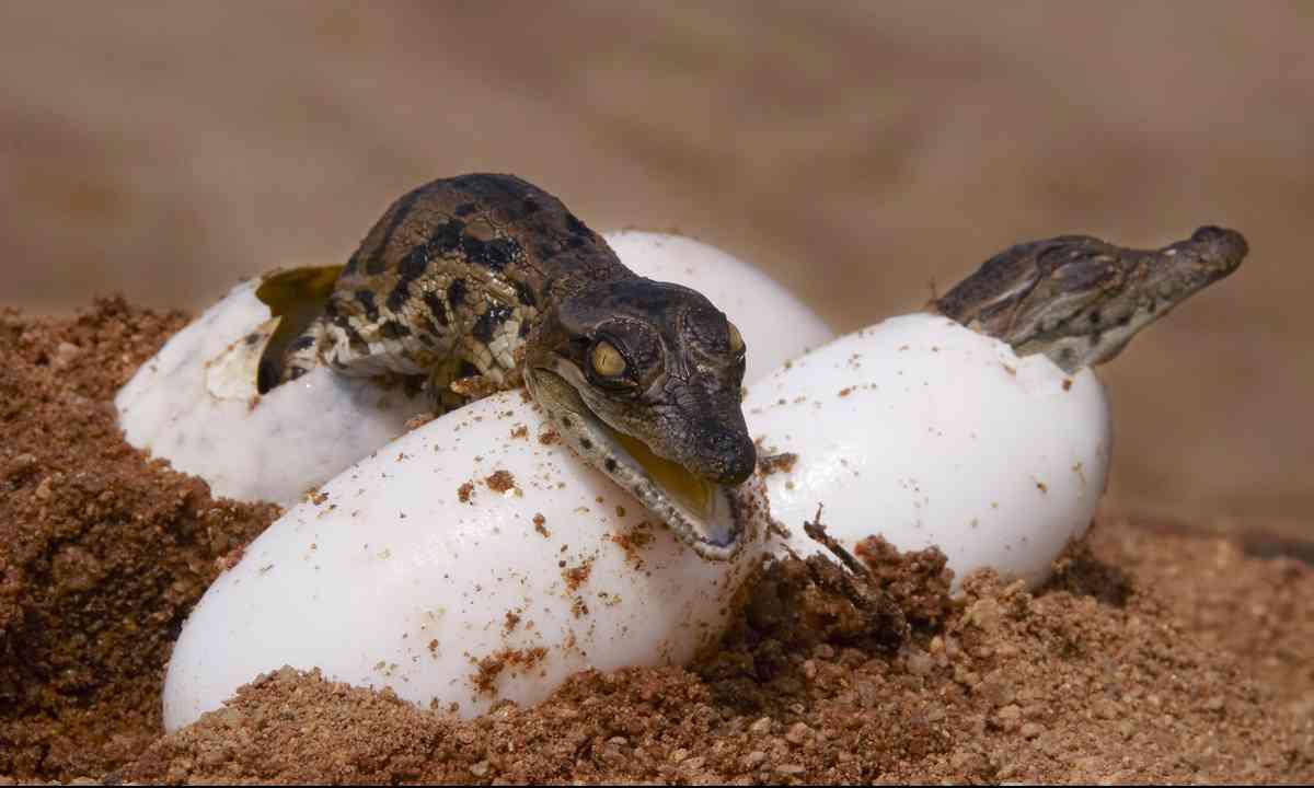 Crocodile eggs (From Shutterstock.com)