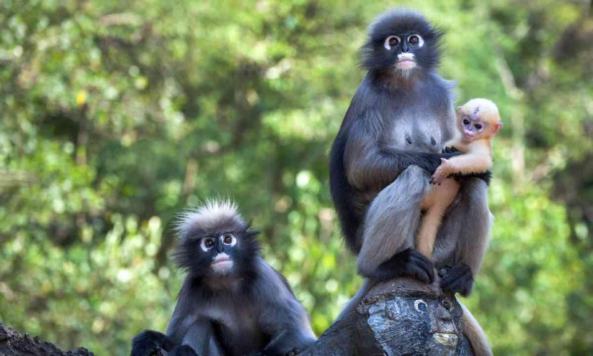 Dusky leaf monkeys (Shutterstock)