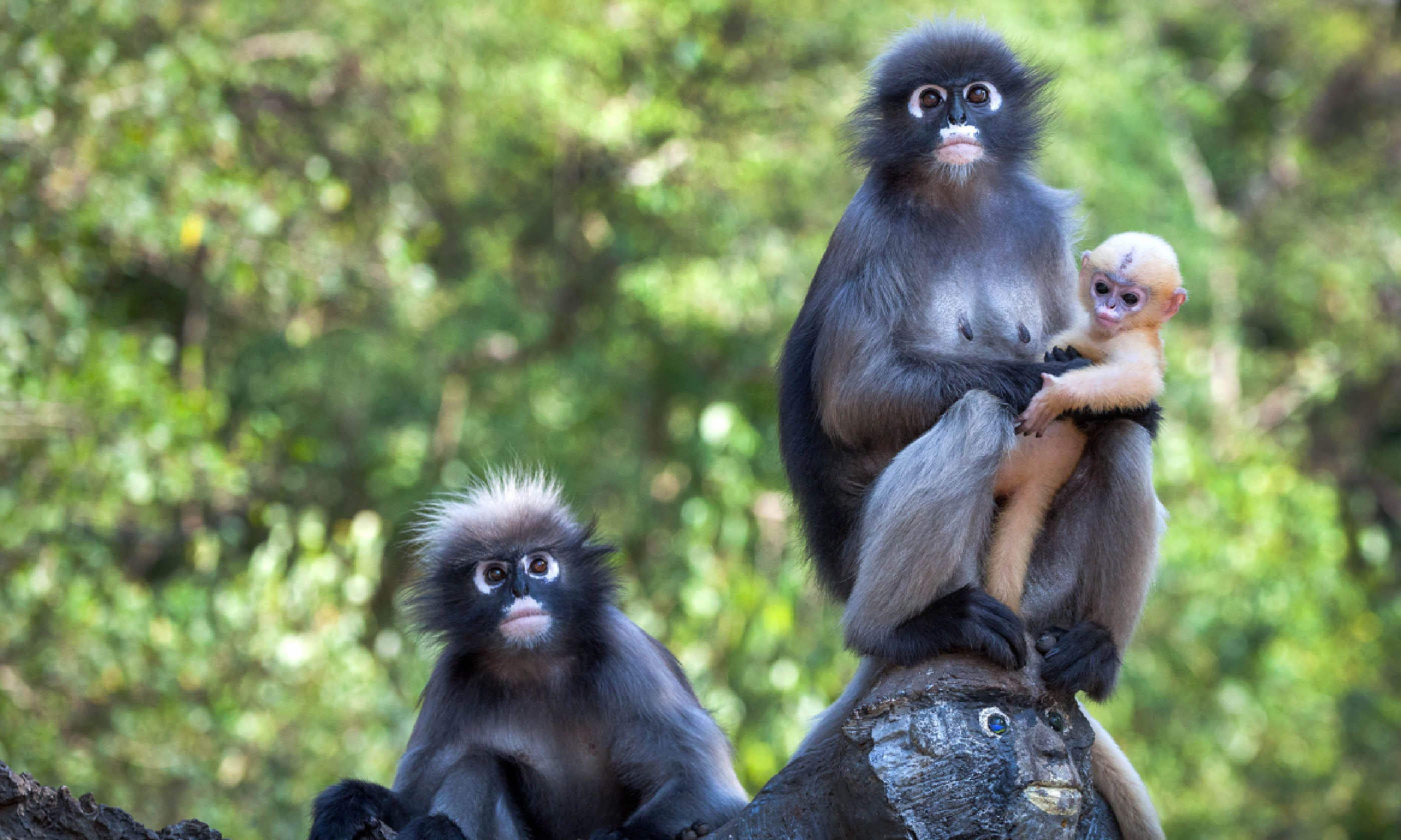 Dusky leaf monkeys (Shutterstock)