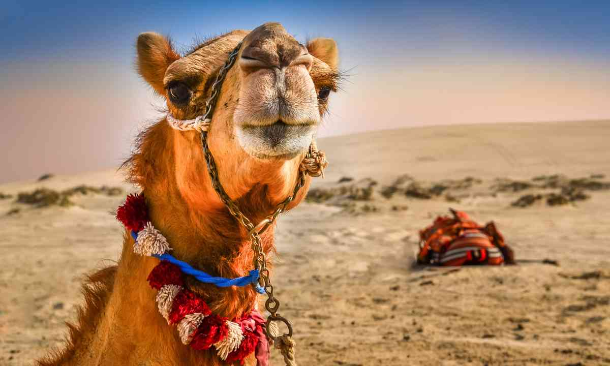 Camel (Shutterstock.com)