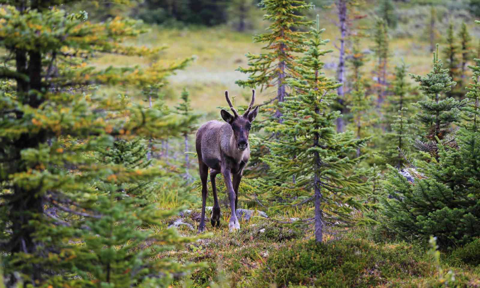 Caribou in Tonquin Valley (Shutterstock)