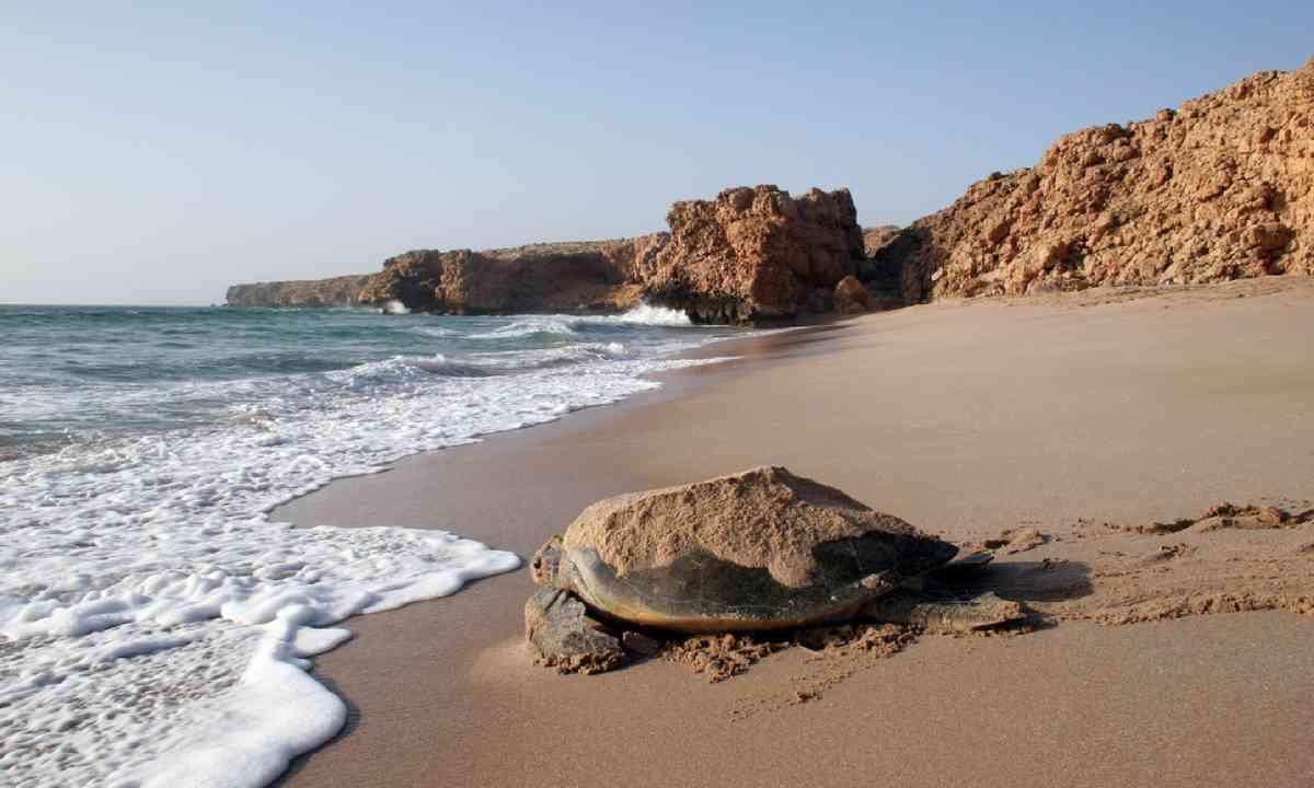 Turtle watching, Ras Al Jinz