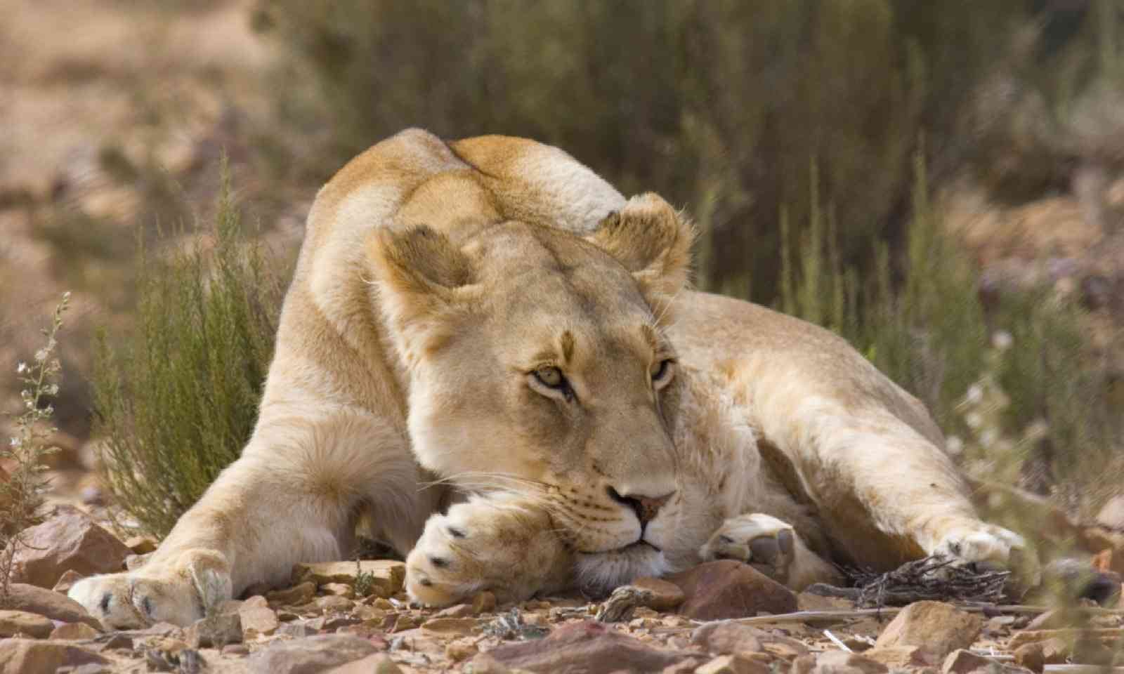 Female Lion sunbathes in afternoon sun, South Africa (Shutterstock)