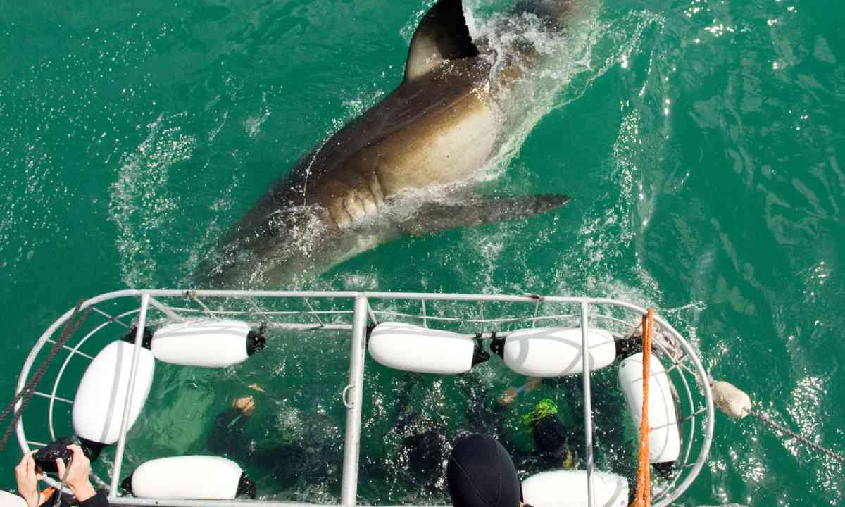 Cage divers face a Great White Shark (Shutterstock)
