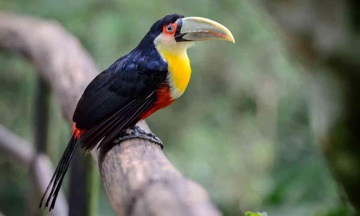 Toucan, National Park Iguazu, Brazil (Shutterstock)